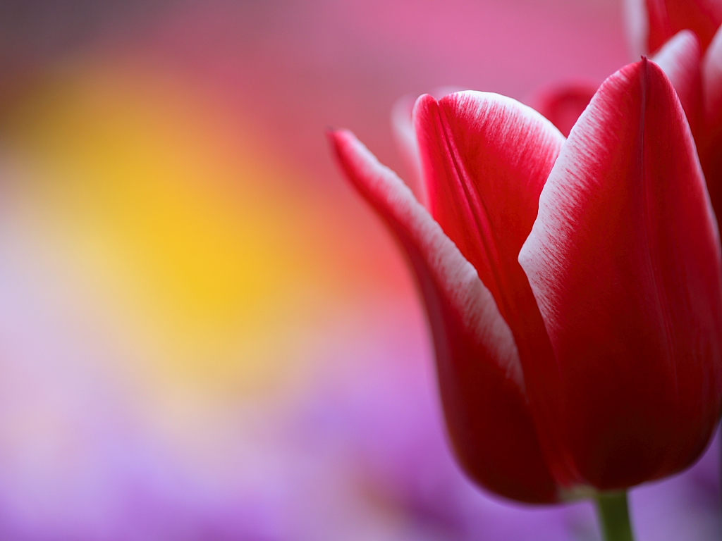 Tulip flower wallpaper 0826